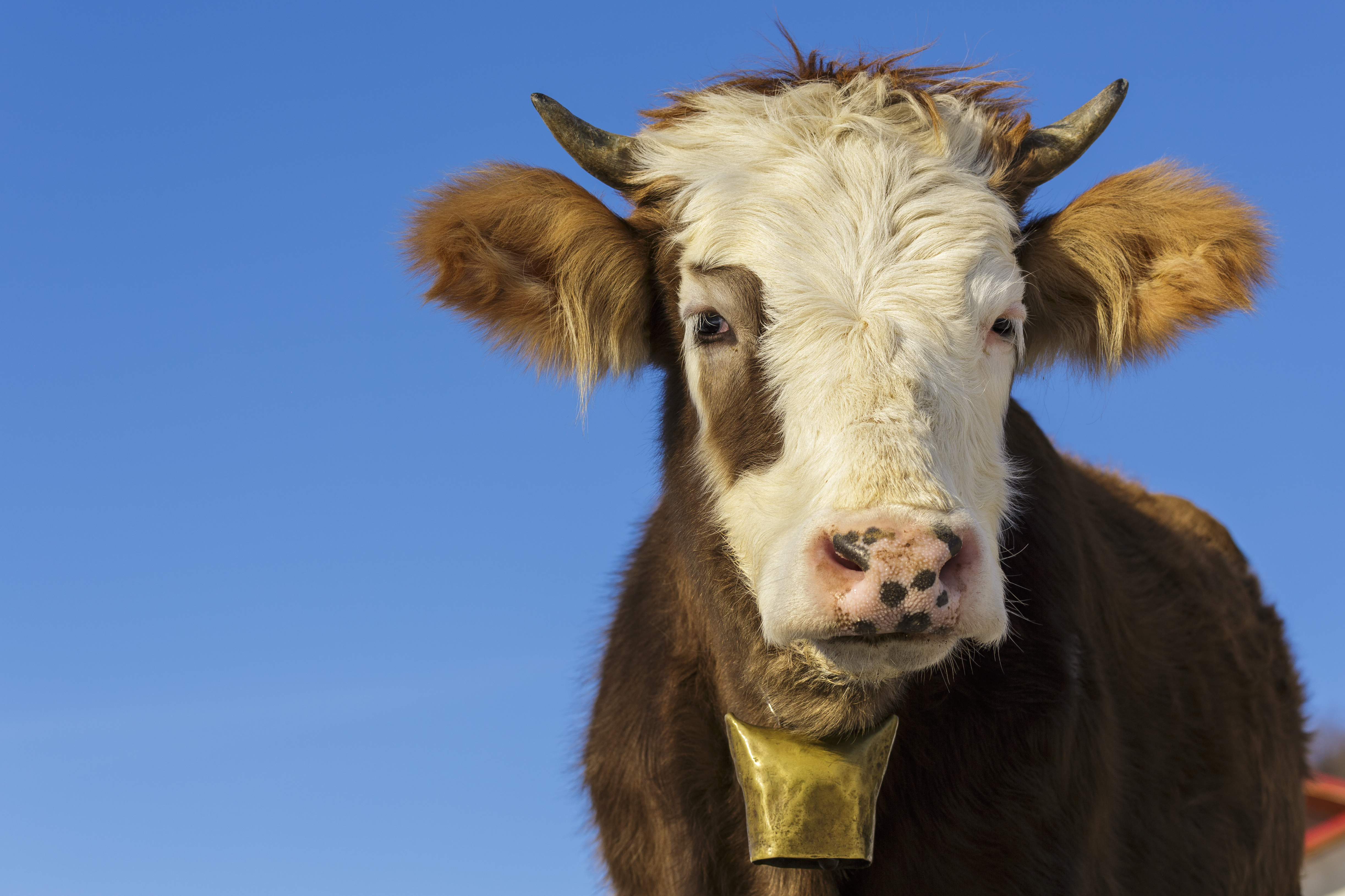 Shaggy brown-and-white cow with small horns looking at camera, wearing brass cowbell around its neck. Background of blue sky.